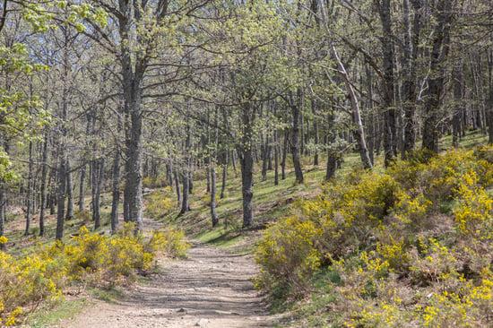 Horse Chestnut Forest, Avila, Spain