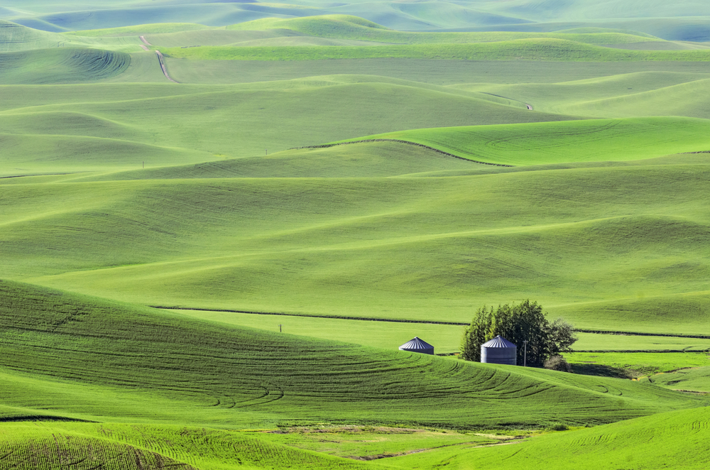 Rolling hills of The Palouse in western Washington, USA, with two silos surrounded by fields of green wheat, on a sunny evening in spring
