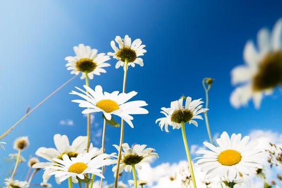 daisy flowers and summer blue sky