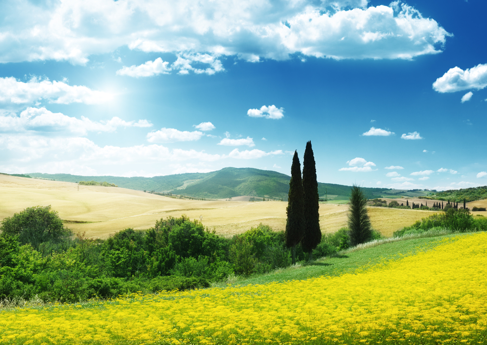field of yellow flowers Tuscany, Italy